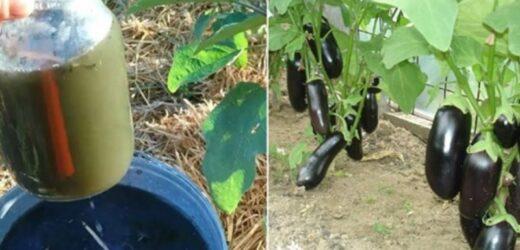 Вирощування найкращих баклажанів: чим підживити, щоб були великі та гарні