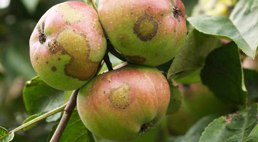"""""""Бачите ці плями на яблуках? Такі зустрічаються на грушах, кавунах, динях, сливі, айві…Ви не повірите чому вони найпопулярніші!"""